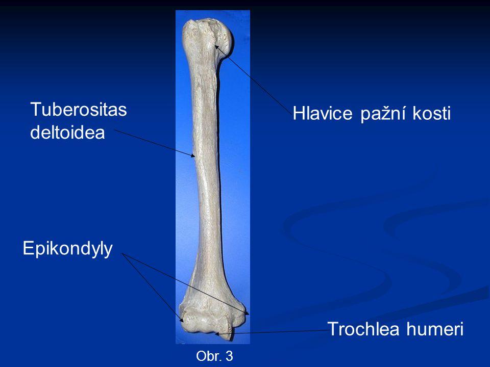 Epikondyly Hlavice pažní kosti Tuberositas deltoidea Trochlea humeri Obr. 3
