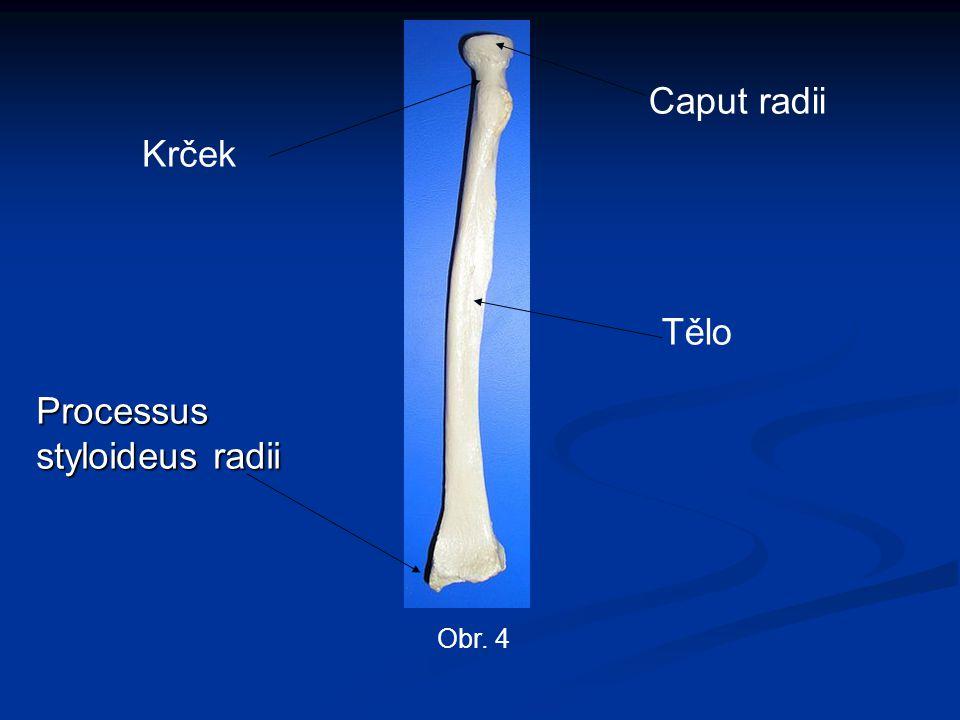 Processus styloideus radii Caput radii Obr. 4 Tělo Krček