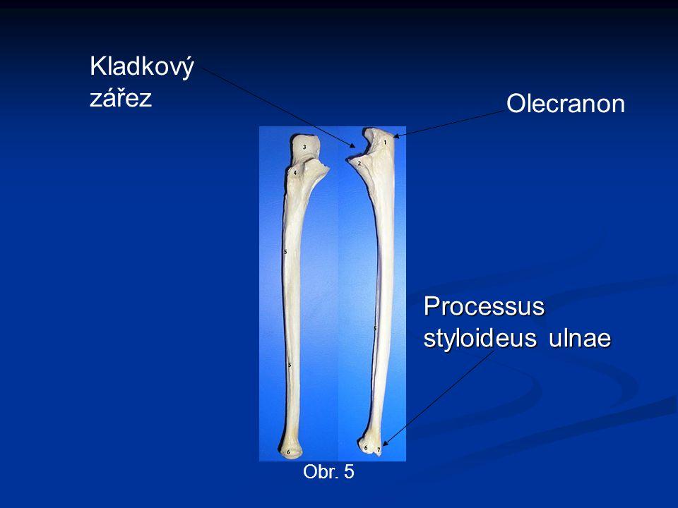 Obr. 5 Kladkový zářez Olecranon Processus styloideus ulnae