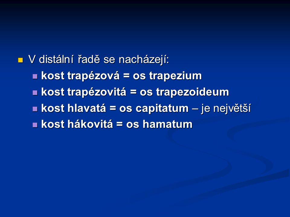 V distální řadě se nacházejí: V distální řadě se nacházejí: kost trapézová = os trapezium kost trapézová = os trapezium kost trapézovitá = os trapezoideum kost trapézovitá = os trapezoideum kost hlavatá = os capitatum – je největší kost hlavatá = os capitatum – je největší kost hákovitá = os hamatum kost hákovitá = os hamatum