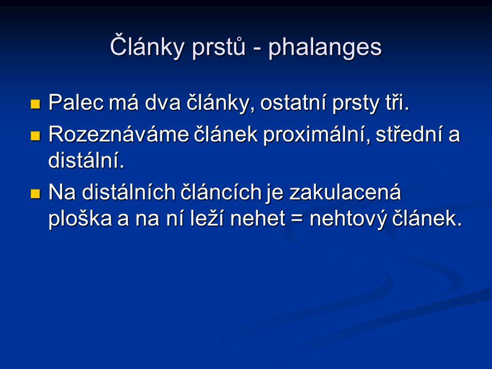 Články prstů - phalanges Palec má dva články, ostatní prsty tři.