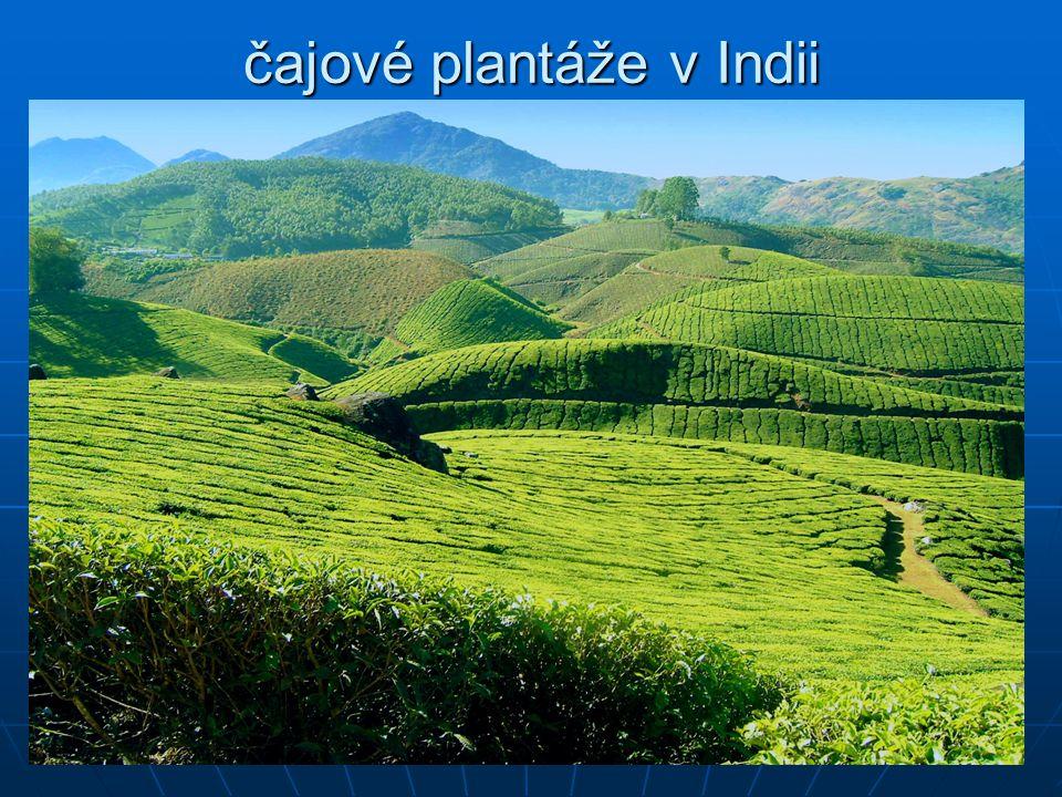 čajové plantáže v Indii