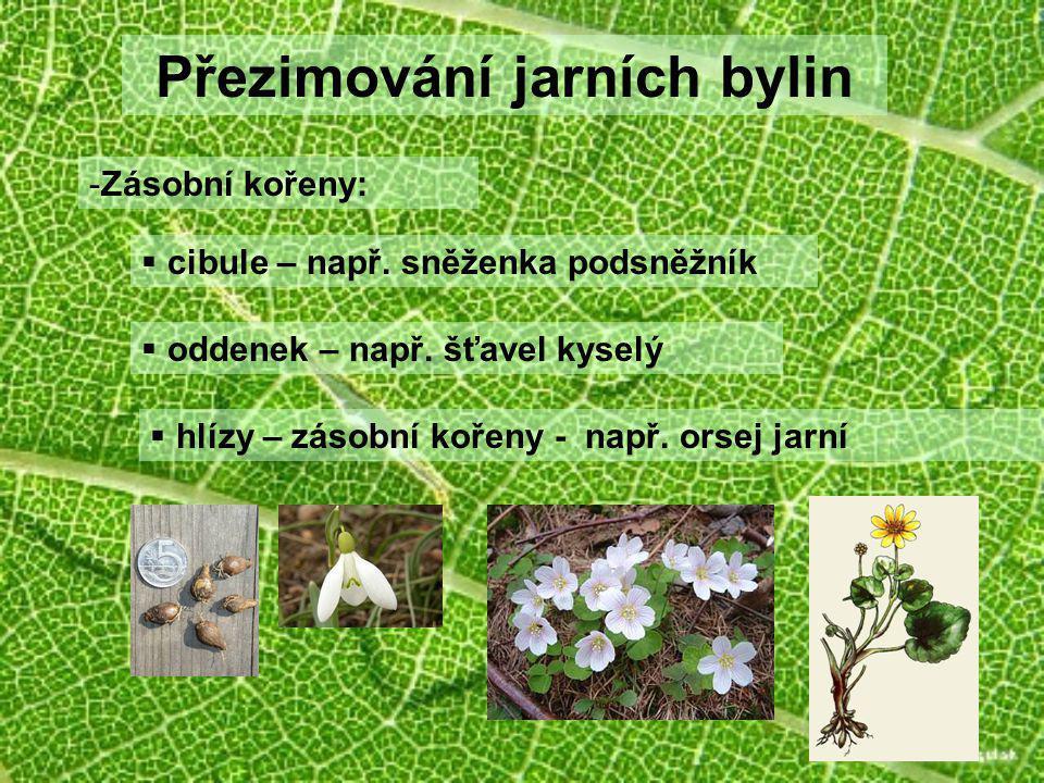 Přezimování jarních bylin -Zásobní kořeny:  cibule – např. sněženka podsněžník  oddenek – např. šťavel kyselý  hlízy – zásobní kořeny - např. orsej