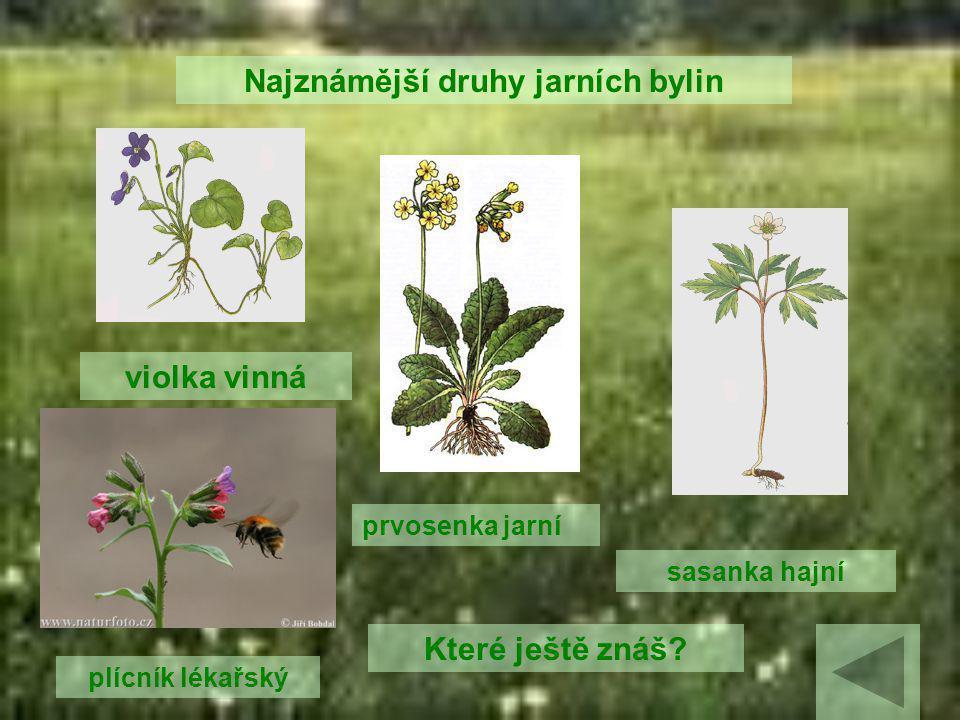 Letní byliny (letničky) - jednoleté – žijí jedno vegetační období - Pěstují se jako okrasné rostliny.