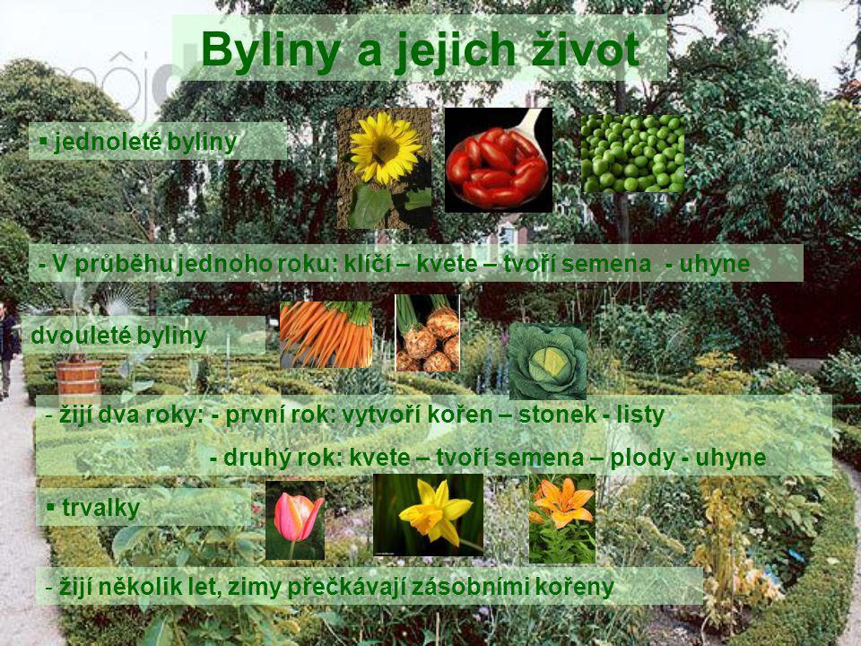 Byliny a jejich život  jednoleté byliny - V průběhu jednoho roku: klíčí – kvete – tvoří semena - uhyne dvouleté byliny - žijí dva roky: - první rok: