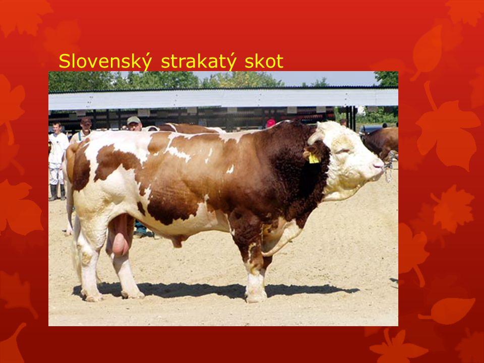 Slovenský strakatý skot