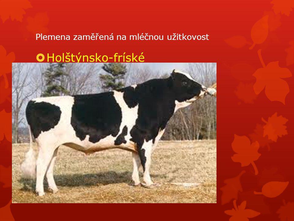 Plemena zaměřená na mléčnou užitkovost  Holštýnsko-fríské