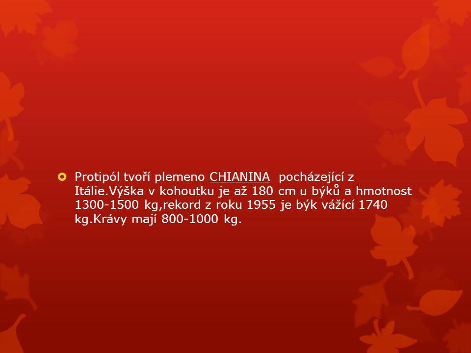  Protipól tvoří plemeno CHIANINA pocházející z Itálie.Výška v kohoutku je až 180 cm u býků a hmotnost 1300-1500 kg,rekord z roku 1955 je býk vážící 1