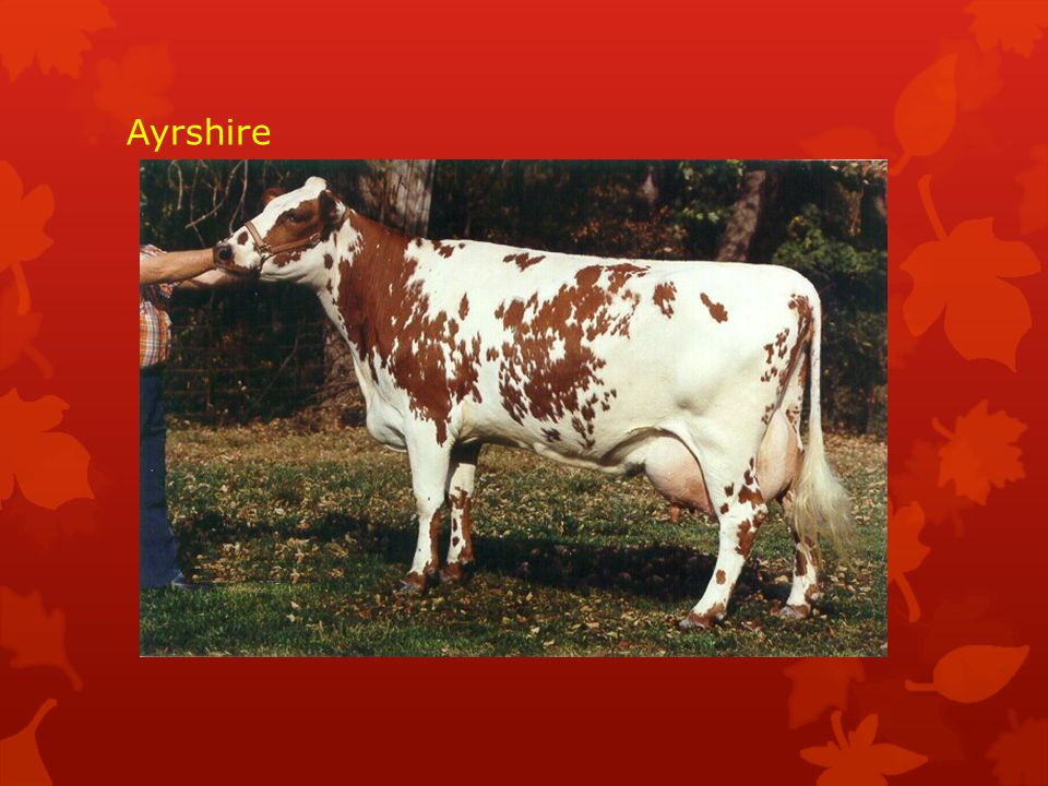  Masný skot velkého tělesného rámce s velkou hloubkou a šířkou těla.Výška v kohoutku u býků je 140-150 cm při hmotnosti1100-1300 kg,krav135-140 cm a hmotnost 700- 850 kg.Hrubá kostra.