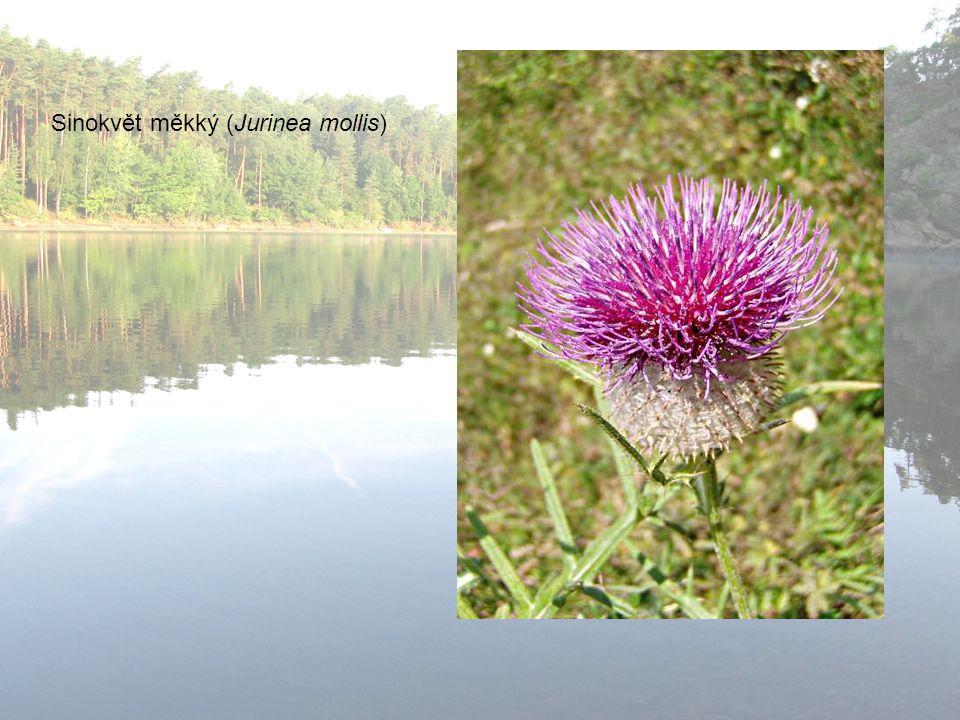 Sinokvět měkký (Jurinea mollis)