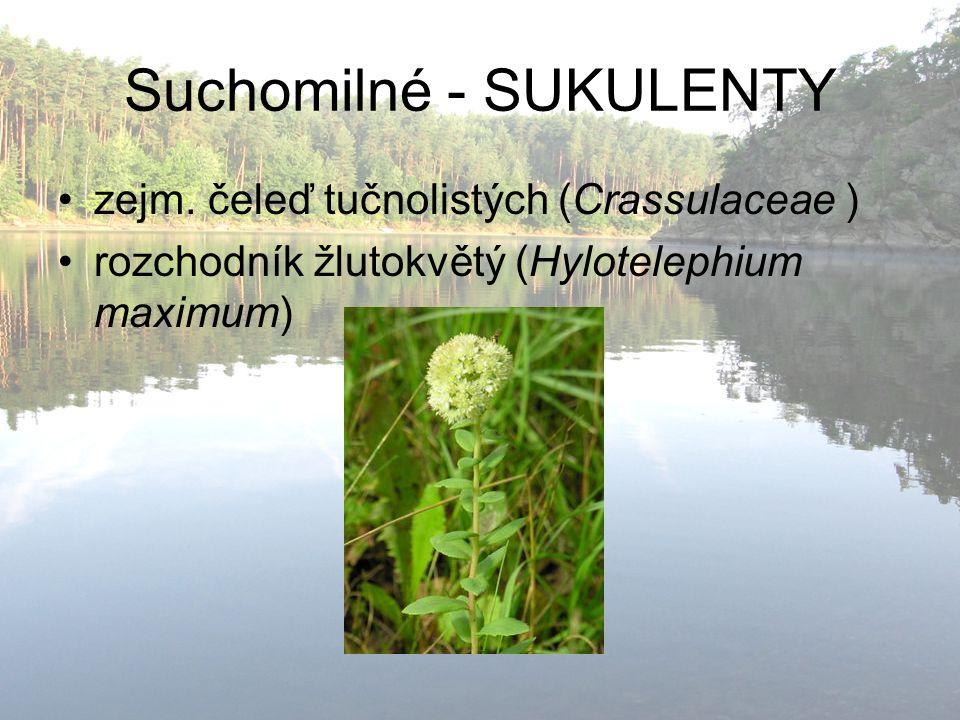 Suchomilné - SUKULENTY zejm. čeleď tučnolistých (Crassulaceae ) rozchodník žlutokvětý (Hylotelephium maximum)