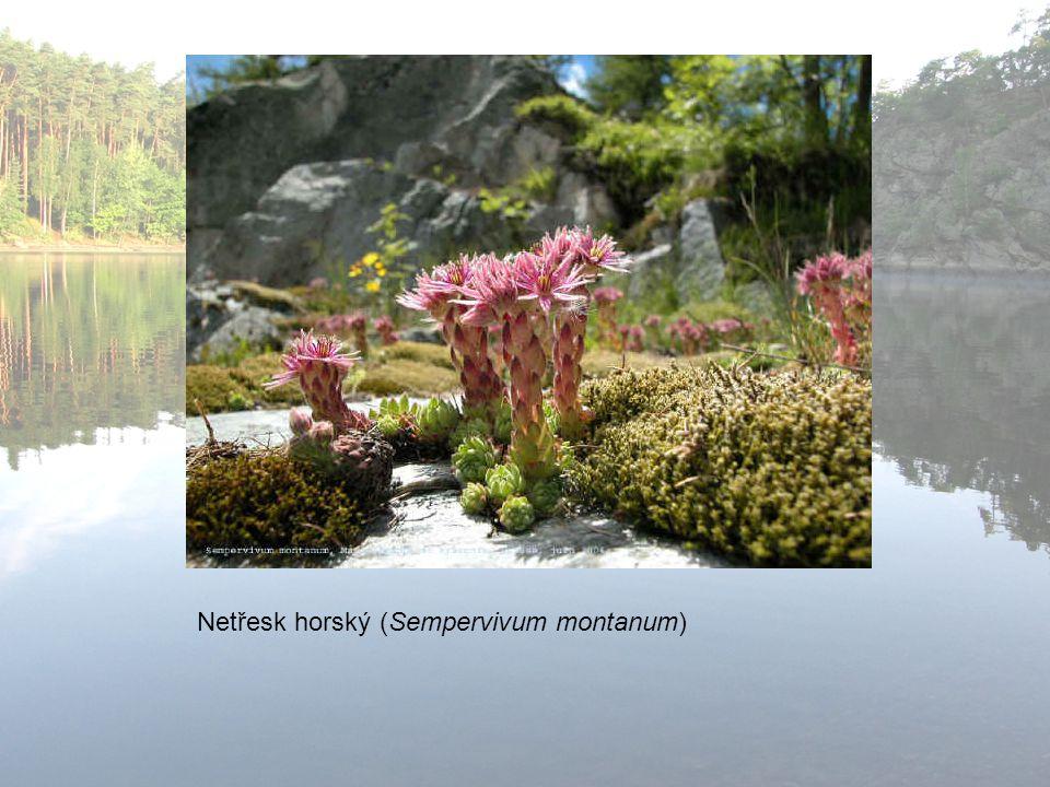 Netřesk horský (Sempervivum montanum)