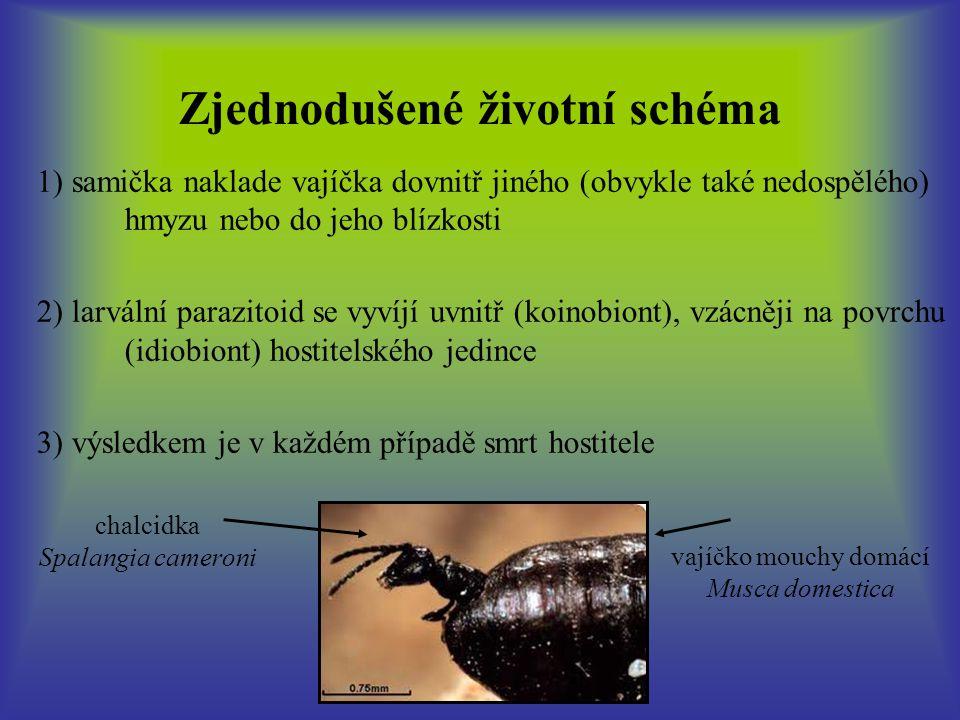 Zjednodušené životní schéma 1) samička naklade vajíčka dovnitř jiného (obvykle také nedospělého) hmyzu nebo do jeho blízkosti 2) larvální parazitoid se vyvíjí uvnitř (koinobiont), vzácněji na povrchu (idiobiont) hostitelského jedince 3) výsledkem je v každém případě smrt hostitele chalcidka Spalangia cameroni vajíčko mouchy domácí Musca domestica
