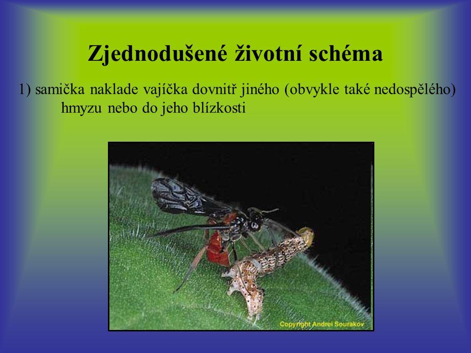 Zjednodušené životní schéma 1) samička naklade vajíčka dovnitř jiného (obvykle také nedospělého) hmyzu nebo do jeho blízkosti 2) larvální parazitoid se vyvíjí uvnitř (koinobiont), vzácněji na povrchu (idiobiont) hostitelského jedince