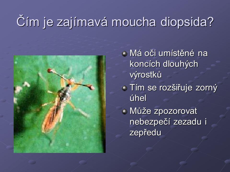 Čím je zajímavá moucha diopsida? Má oči umístěné na koncích dlouhých výrostků Tím se rozšiřuje zorný úhel Může zpozorovat nebezpečí zezadu i zepředu