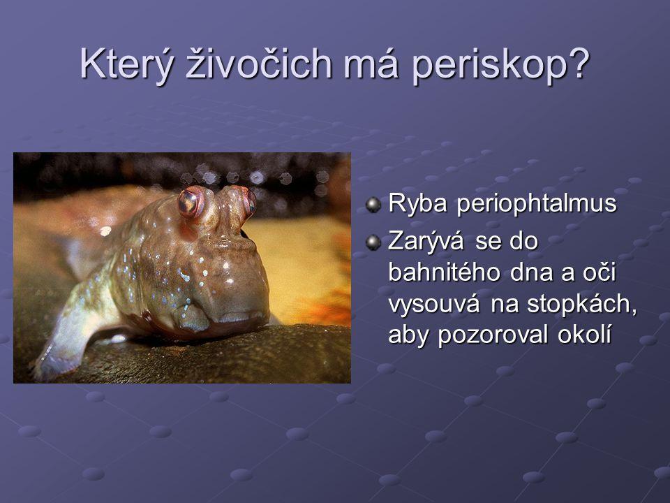 Který živočich má periskop? Ryba periophtalmus Zarývá se do bahnitého dna a oči vysouvá na stopkách, aby pozoroval okolí