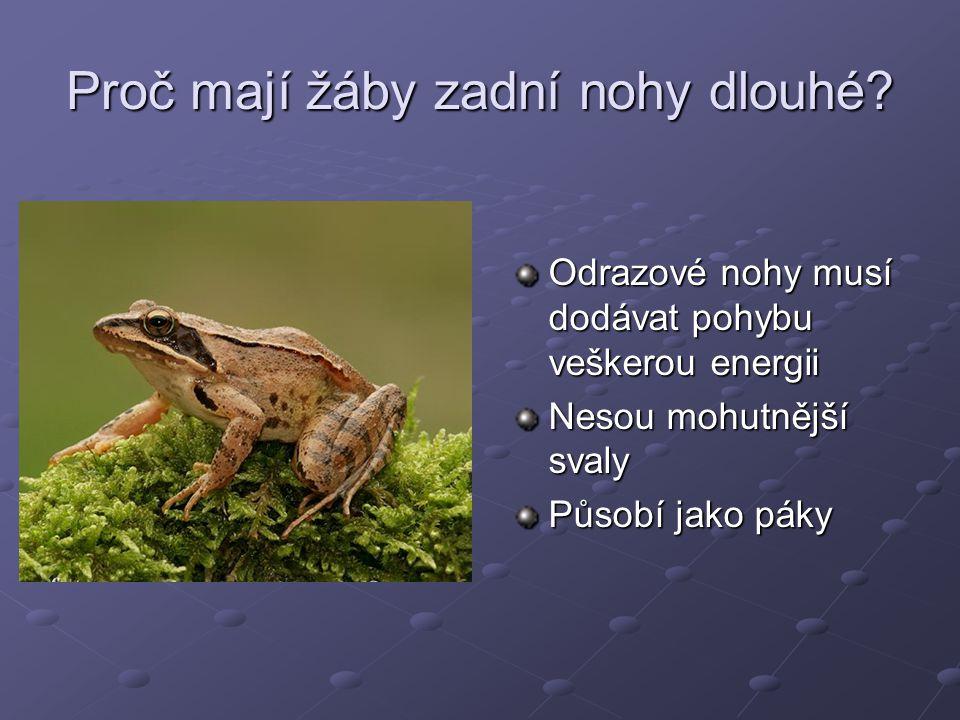 Proč mají žáby zadní nohy dlouhé? Odrazové nohy musí dodávat pohybu veškerou energii Nesou mohutnější svaly Působí jako páky