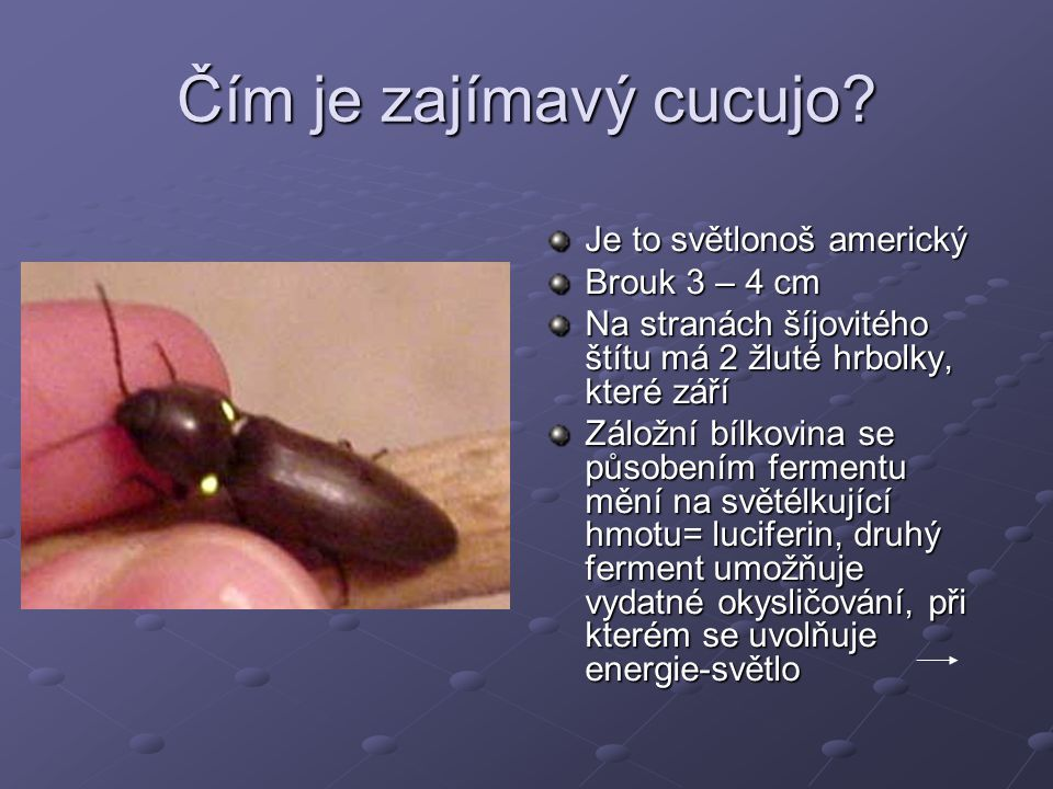Čím je zajímavý cucujo? Je to světlonoš americký Brouk 3 – 4 cm Na stranách šíjovitého štítu má 2 žluté hrbolky, které září Záložní bílkovina se působ