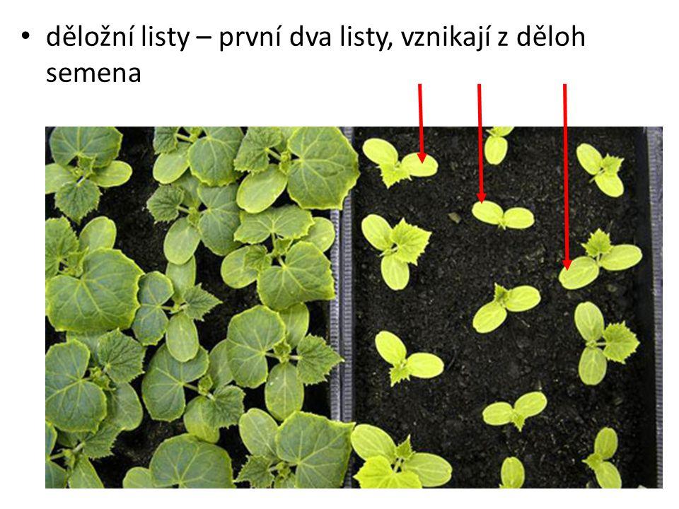 děložní listy – první dva listy, vznikají z děloh semena