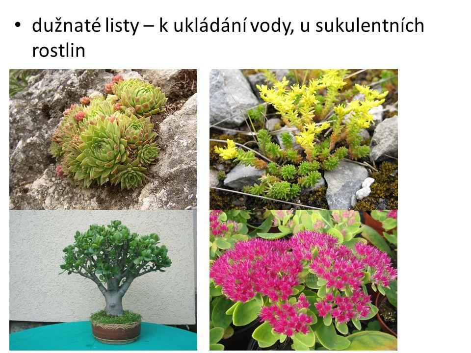 dužnaté listy – k ukládání vody, u sukulentních rostlin