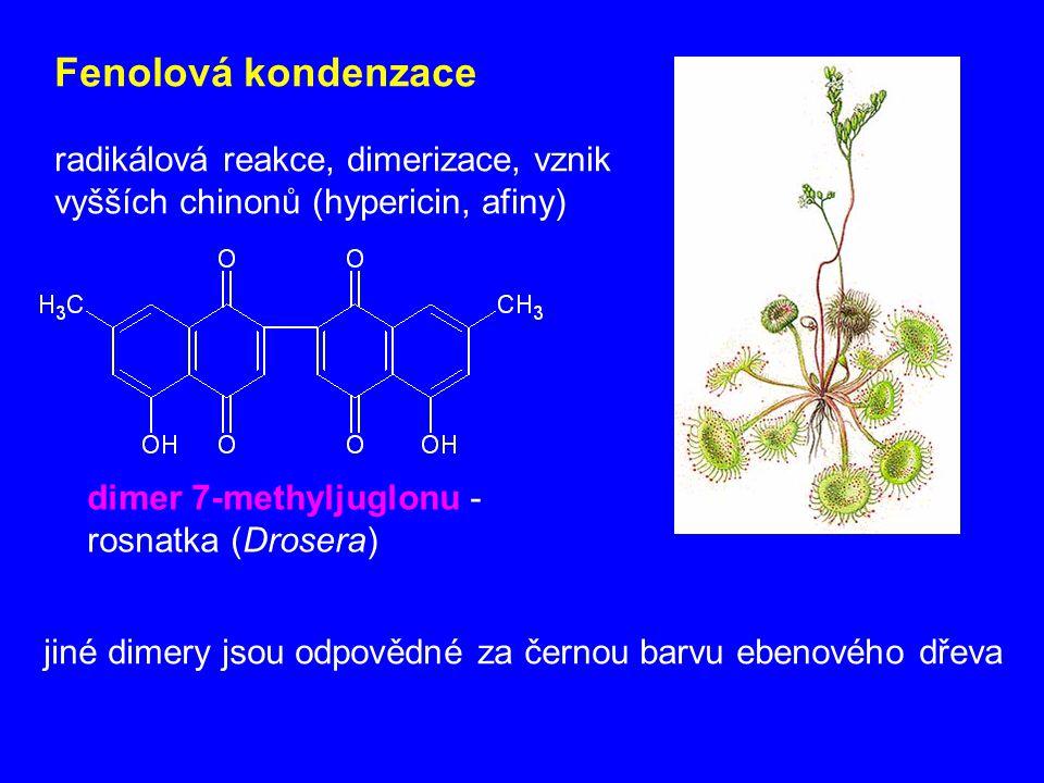 Fenolová kondenzace radikálová reakce, dimerizace, vznik vyšších chinonů (hypericin, afiny) dimer 7-methyljuglonu - rosnatka (Drosera) jiné dimery jso