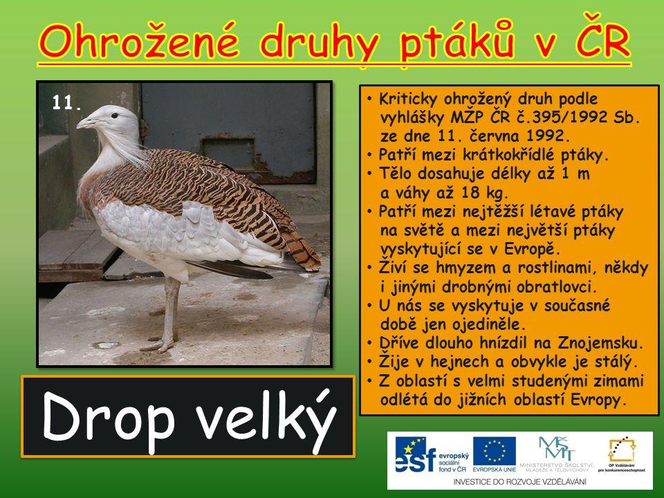 Drop velký 11.Kriticky ohrožený druh podle vyhlášky MŽP ČR č.395/1992 Sb.