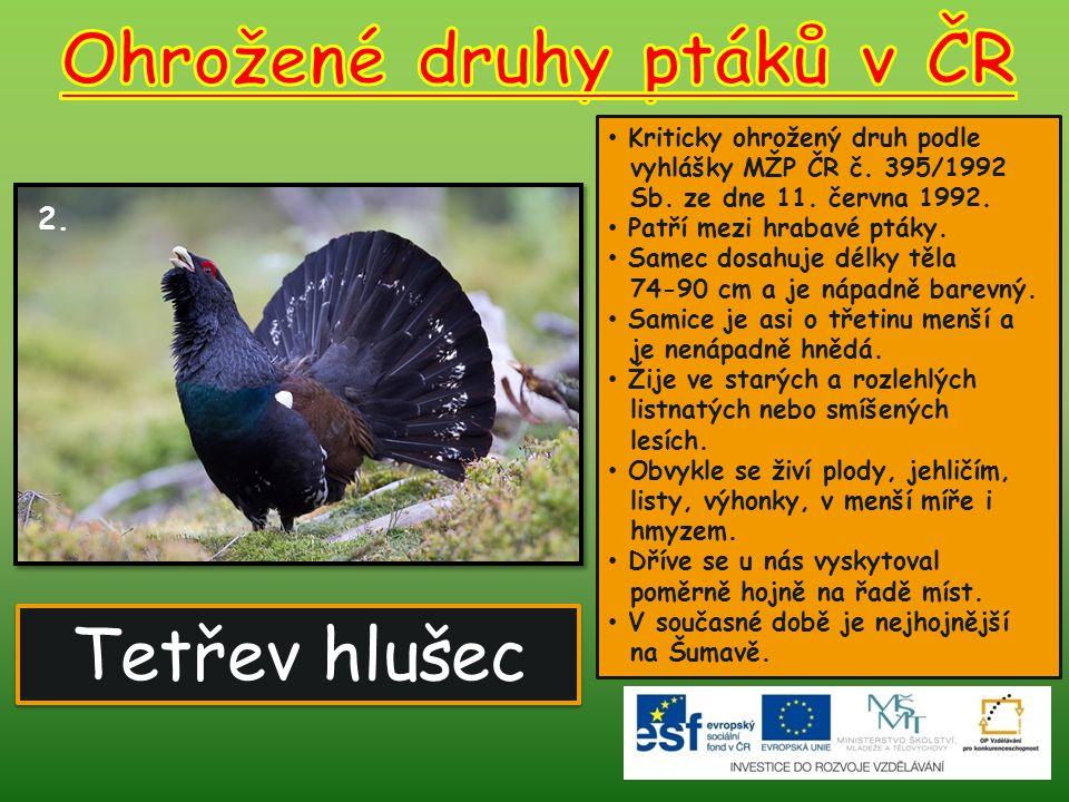 Tetřev hlušec 2.Kriticky ohrožený druh podle vyhlášky MŽP ČR č.