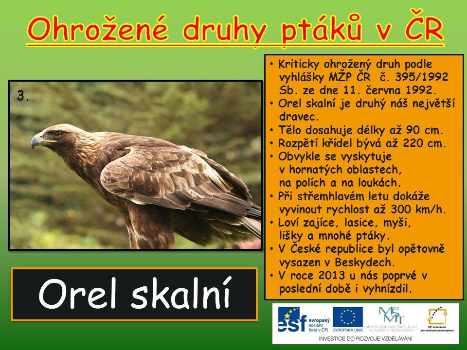 Orel skalní 3. Kriticky ohrožený druh podle vyhlášky MŽP ČR č. 395/1992 Sb. ze dne 11. června 1992. Orel skalní je druhý náš největší dravec. Tělo dos