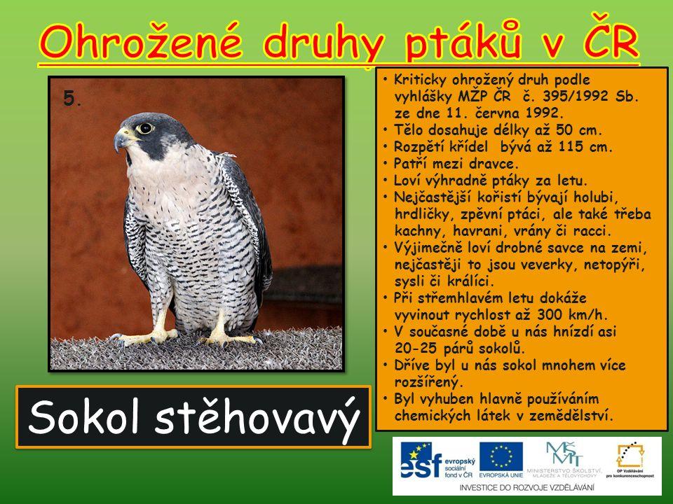 Sokol stěhovavý 5.Kriticky ohrožený druh podle vyhlášky MŽP ČR č.