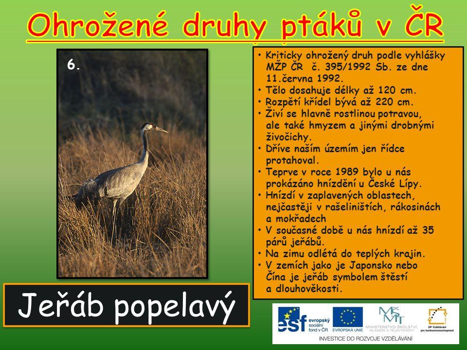 Jeřáb popelavý 6. Kriticky ohrožený druh podle vyhlášky MŽP ČR č. 395/1992 Sb. ze dne 11.června 1992. Tělo dosahuje délky až 120 cm. Rozpětí křídel bý