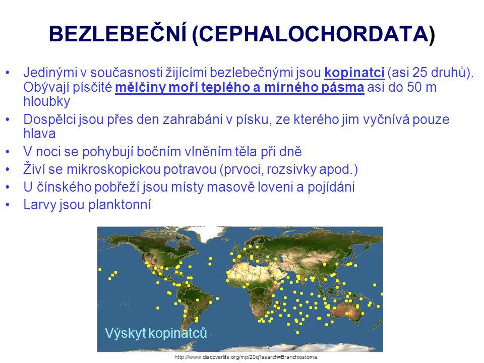 BEZLEBEČNÍ (CEPHALOCHORDATA) KOPINATEC PLŽOVITÝ - kolem evropských břehů kromě nejsevernějších oblastí B = pozice kopinatce zahrabaného v písku, ale přijímajícího potravu vystrčeným předním koncem http://www.sciencedirect.com/science/article/pii/S1871174X11000278