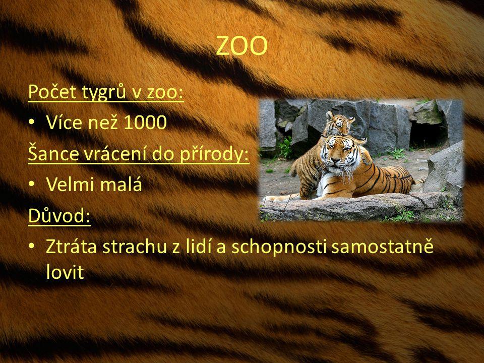ZOO Počet tygrů v zoo: Více než 1000 Šance vrácení do přírody: Velmi malá Důvod: Ztráta strachu z lidí a schopnosti samostatně lovit