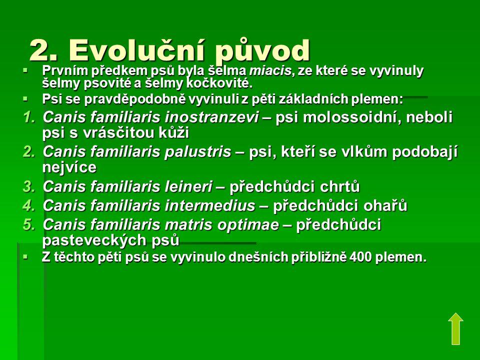 2. Evoluční původ  Prvním předkem psů byla šelma miacis, ze které se vyvinuly šelmy psovité a šelmy kočkovité.  Psi se pravděpodobně vyvinuli z pěti