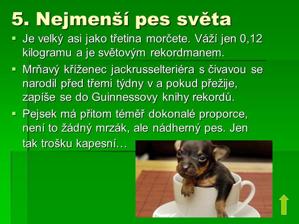 5. Nejmenší pes světa  Je velký asi jako třetina morčete. Váží jen 0,12 kilogramu a je světovým rekordmanem.  Mrňavý kříženec jackrusselteriéra s či