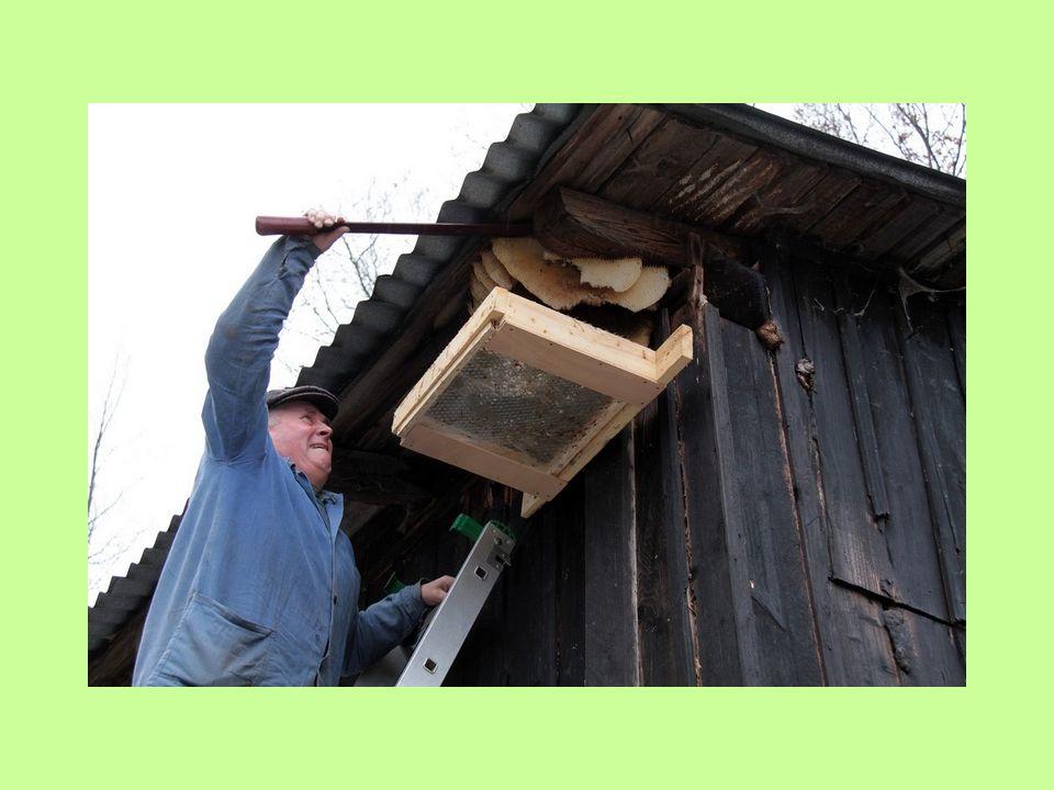 11. února 2011 dopoledne Karel za asistence včelaře Zdeňka Panského odebral spadané včely ze síta podložky a přitom zjistil, že včelstvo již nežije. V