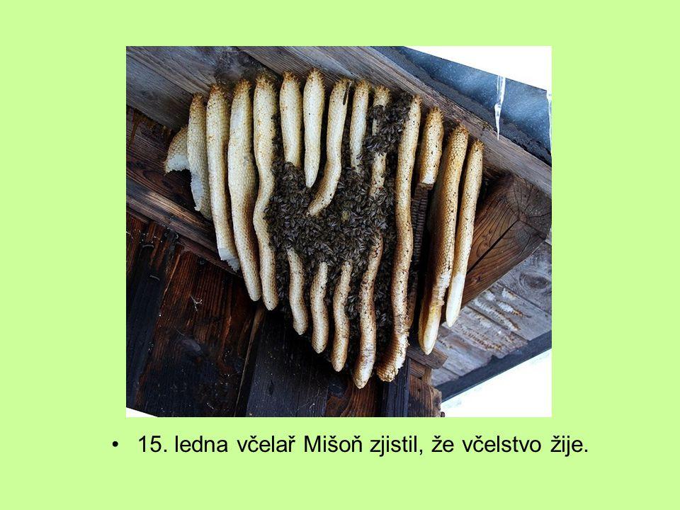 15. ledna včelař Mišoň zjistil, že včelstvo žije.