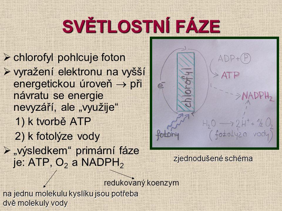 """SVĚTLOSTNÍ FÁZE  chlorofyl pohlcuje foton  vyražení elektronu na vyšší energetickou úroveň  při návratu se energie nevyzáří, ale """"využije"""" 1) k tvo"""