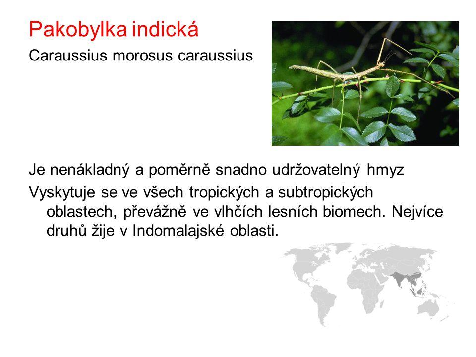 Pakobylka indická Caraussius morosus caraussius Je nenákladný a poměrně snadno udržovatelný hmyz Vyskytuje se ve všech tropických a subtropických oblastech, převážně ve vlhčích lesních biomech.
