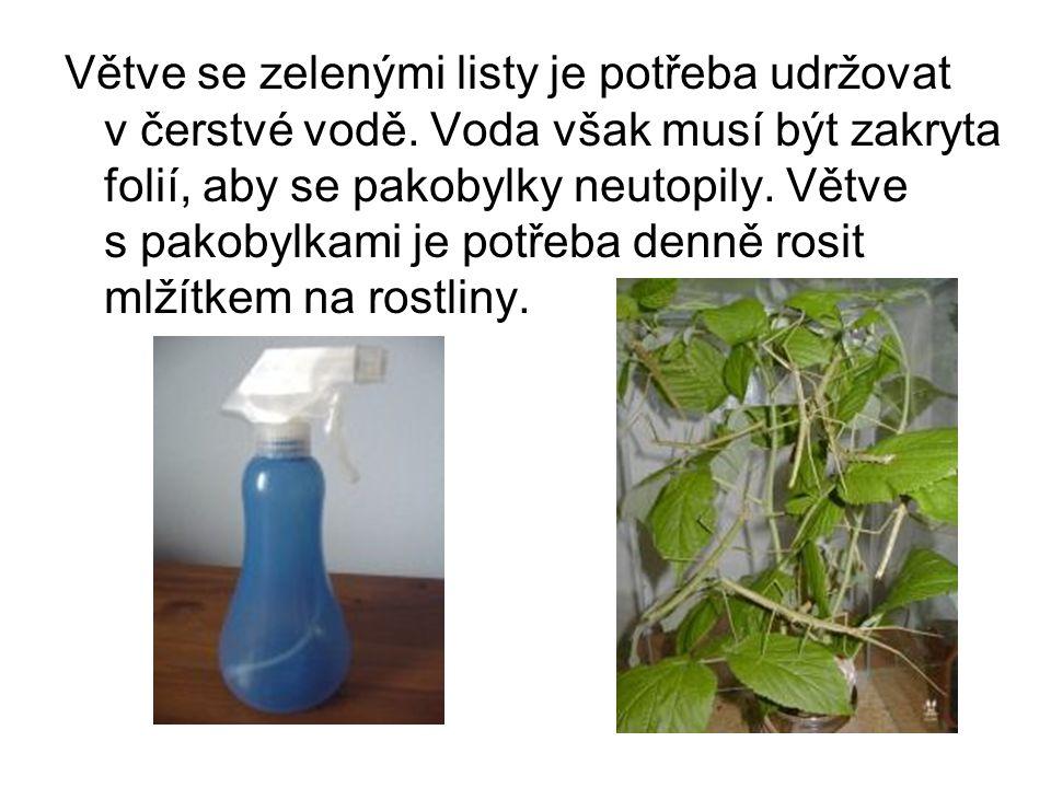 Větve se zelenými listy je potřeba udržovat v čerstvé vodě.