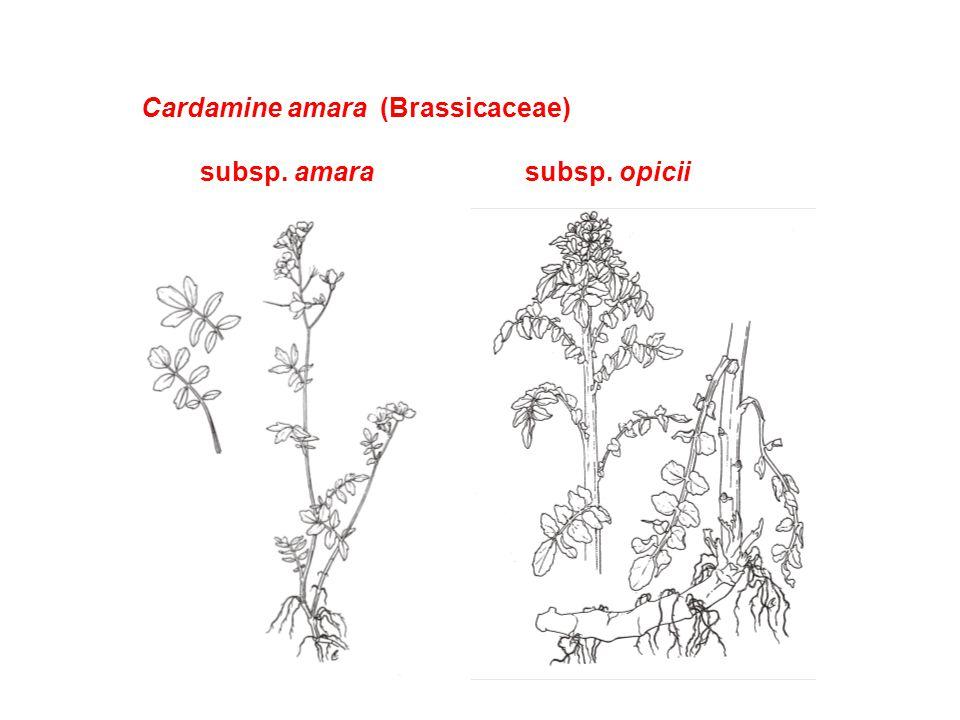 Cardamine amara (Brassicaceae) subsp. amarasubsp. opicii