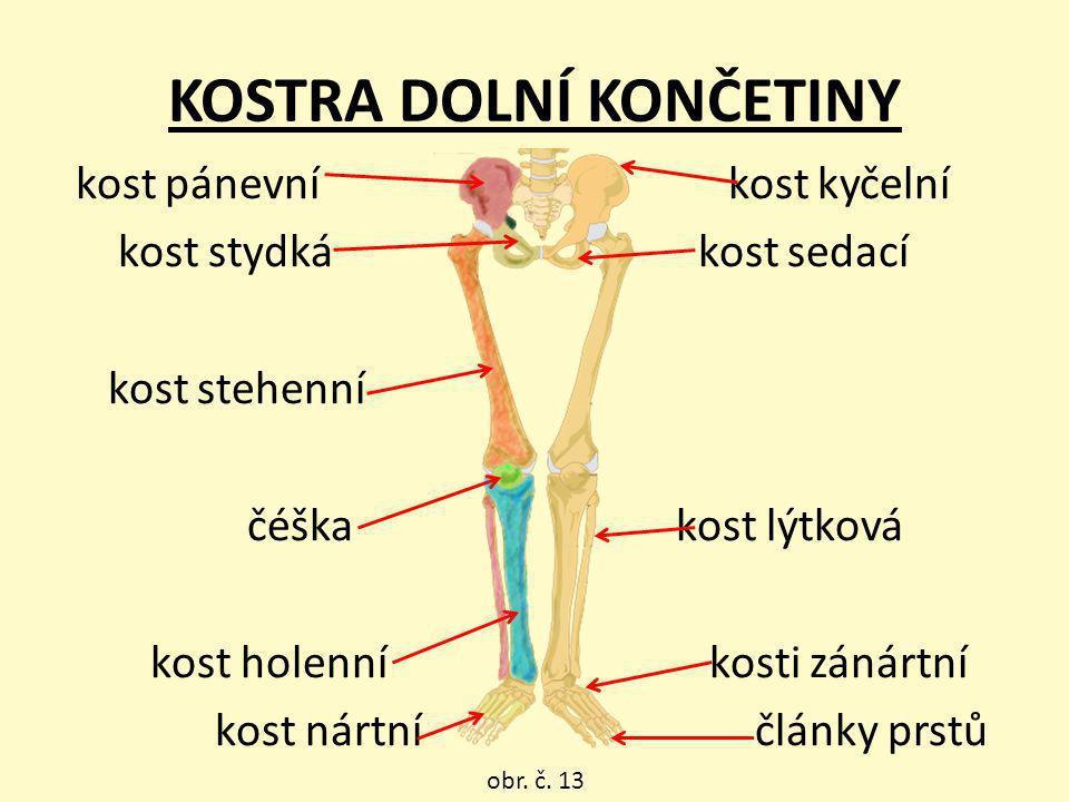 kost pánevní kost kyčelní kost stydká kost sedací kost stehenní čéška kost lýtková kost holenní kosti zánártní kost nártní články prstů KOSTRA DOLNÍ K