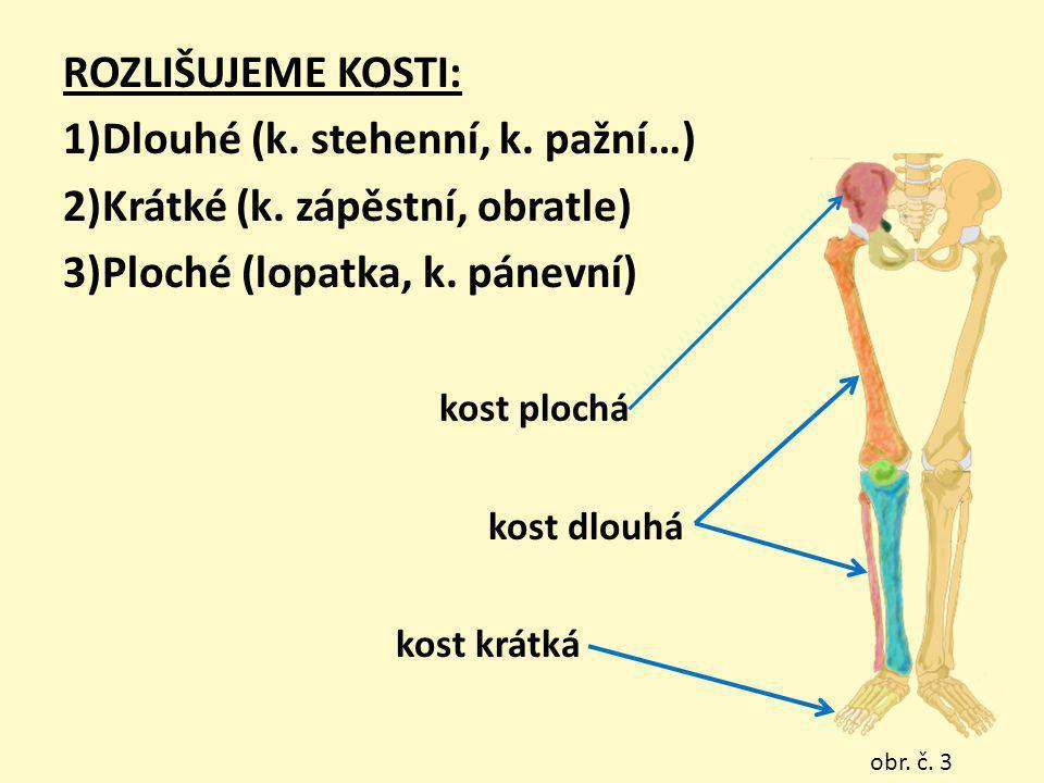 ROZLIŠUJEME KOSTI: 1)Dlouhé (k. stehenní, k. pažní…) 2)Krátké (k. zápěstní, obratle) 3)Ploché (lopatka, k. pánevní) kost plochá kost dlouhá kost krátk