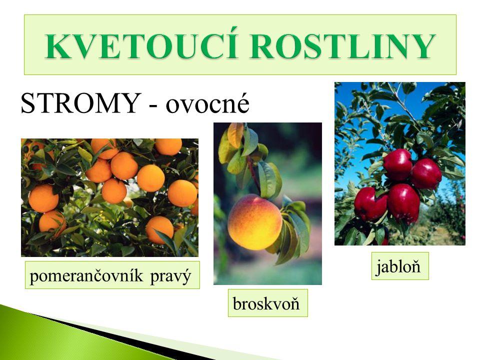 STROMY - ovocné pomerančovník pravý broskvoň jabloň