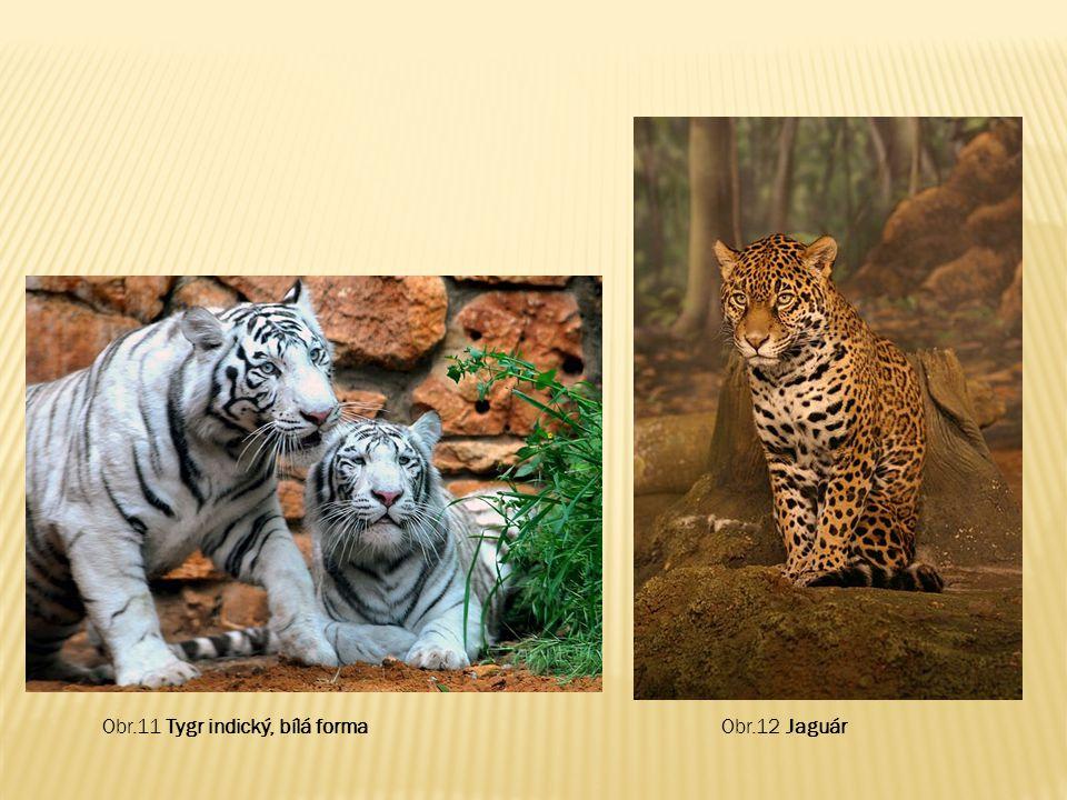 Obr.11 Tygr indický, bílá formaObr.12 Jaguár