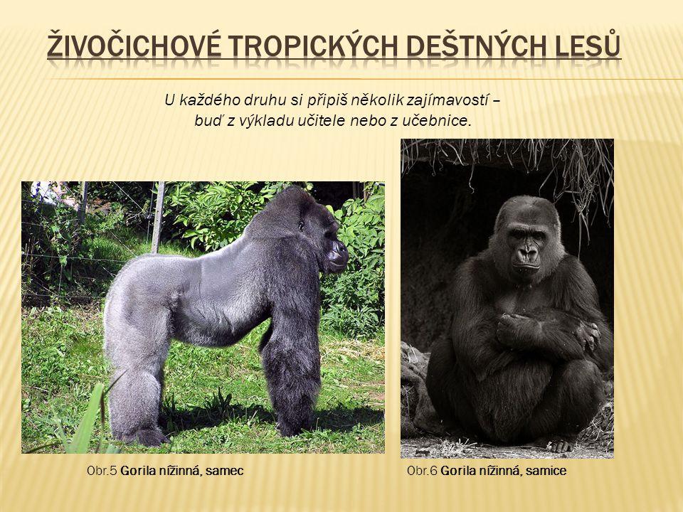 Obr.5 Gorila nížinná, samec U každého druhu si připiš několik zajímavostí – buď z výkladu učitele nebo z učebnice. Obr.6 Gorila nížinná, samice