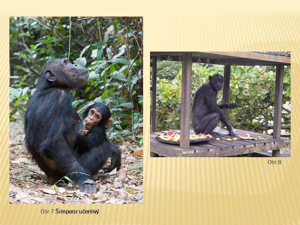 Obr.7 Šimpanz učenlivý Obr.8