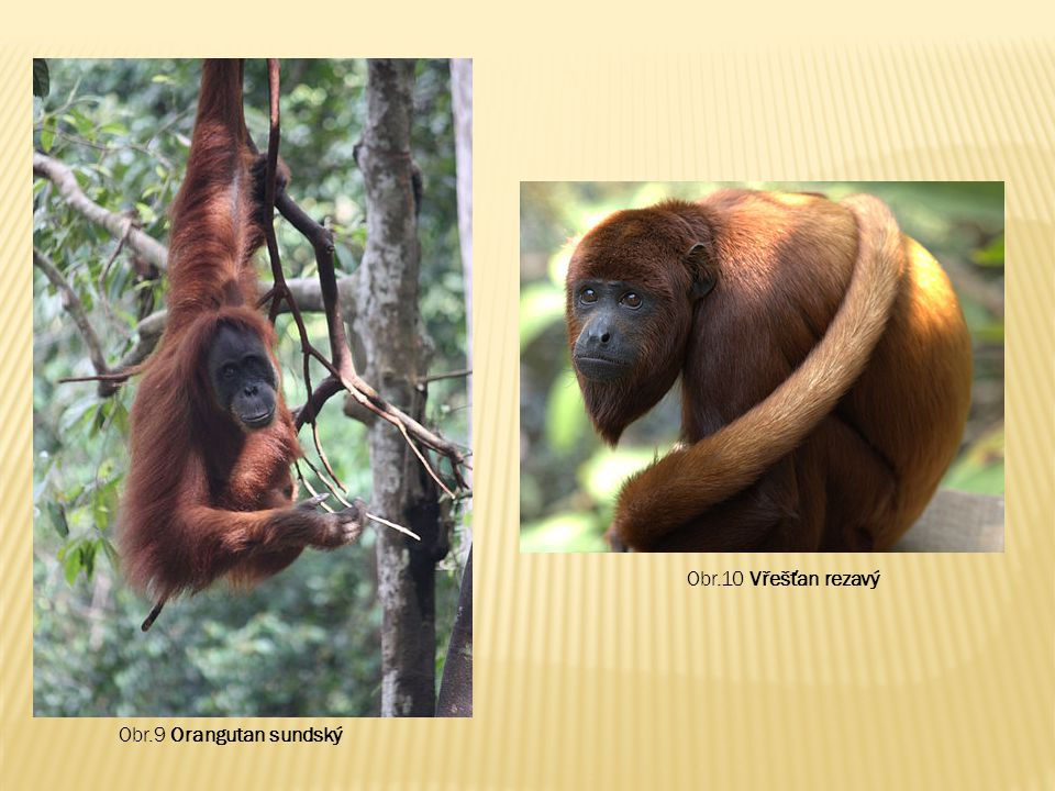 Obr.9 Orangutan sundský Obr.10 Vřešťan rezavý