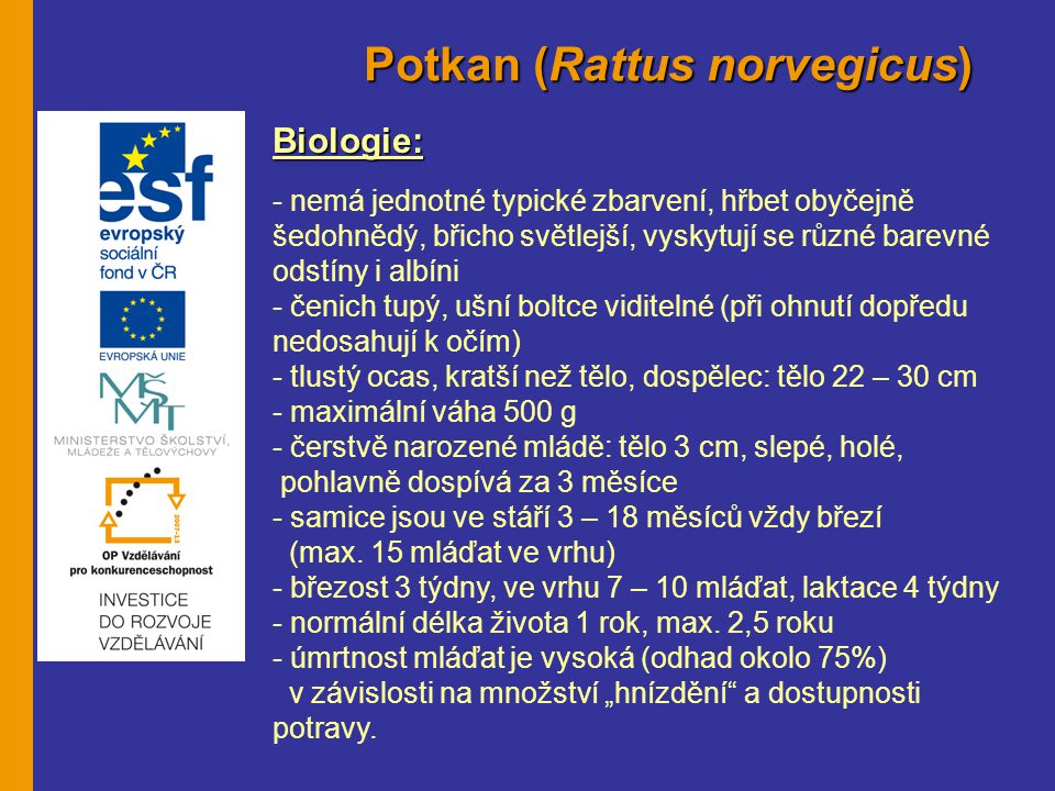 Potkan (Rattus norvegicus) Biologie: - nemá jednotné typické zbarvení, hřbet obyčejně šedohnědý, břicho světlejší, vyskytují se různé barevné odstíny i albíni - čenich tupý, ušní boltce viditelné (při ohnutí dopředu nedosahují k očím) - tlustý ocas, kratší než tělo, dospělec: tělo 22 – 30 cm - maximální váha 500 g - čerstvě narozené mládě: tělo 3 cm, slepé, holé, pohlavně dospívá za 3 měsíce - samice jsou ve stáří 3 – 18 měsíců vždy březí (max.