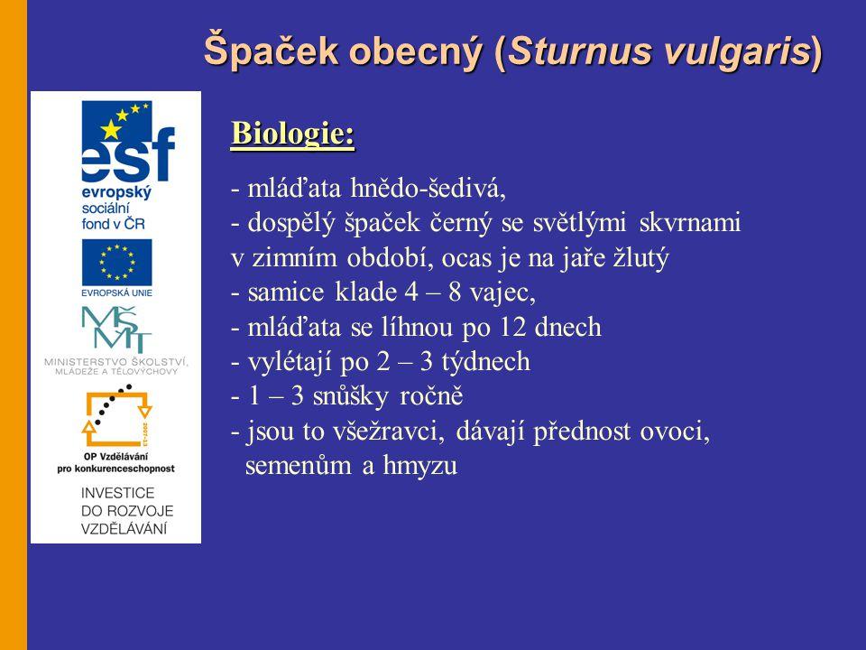Špaček obecný (Sturnus vulgaris) Biologie: - mláďata hnědo-šedivá, - dospělý špaček černý se světlými skvrnami v zimním období, ocas je na jaře žlutý - samice klade 4 – 8 vajec, - mláďata se líhnou po 12 dnech - vylétají po 2 – 3 týdnech - 1 – 3 snůšky ročně - jsou to všežravci, dávají přednost ovoci, semenům a hmyzu