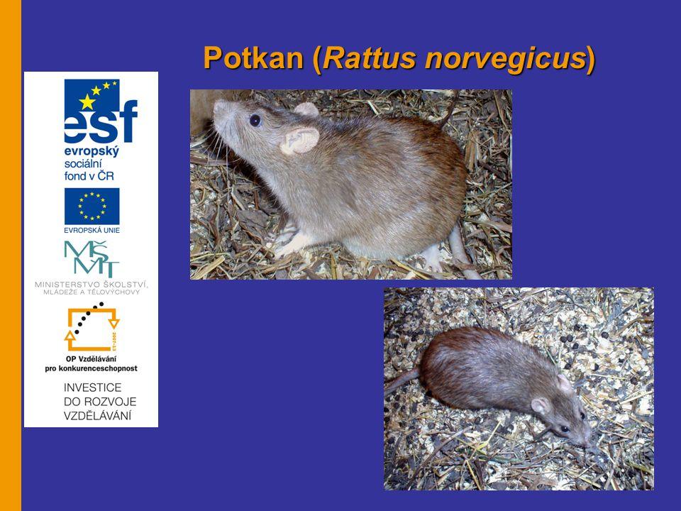 Krysa (Rattus rattus) Biologie: - nemá výrazné zbarvení - různé barevné odstíny - rozšířena po celém světě námořní dopravou, - v mírném klimatu se vyskytuje - čenich má zašpičatělý, uši velké (sklopeny dopředu přesahují oči) - ocas tenký, delší než tělo, dospělec je velký 14 – 23 cm, - maximální váha 250 g - nově narozená mláďata jsou 3 cm velká, slepá a holá, - pohlavně dospívá za 3 měsíce - samice stáří 3 – 24 měsíců jsou vždy březí (průměrně 6 vrhů v roce) březost trvá 3 týdny, ve vrhu 6 – 10 mláďat, - doba laktace 3 týdny - normální délka života 2 roky, maximálně 4 roky